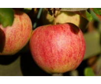 Pomme Elstar Bio de Provence 1kg
