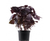 Basilic rouge Bio en pot