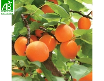 Abricot Bio de Provence 500g